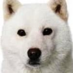 ソフトバンクCMの子犬・ギガちゃん、声のキャストは誰?